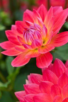 Dahlia 'Kilburn Rose' Deze plant is geschikt voor de ondersteuning door de   Solitairpin van www.detuinfee.nl. Verkrijgbaar in 4 hoogtes.