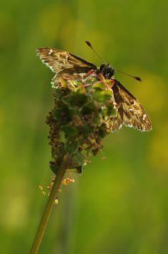 Malven-Dickkopffalter (Carcharodus alceae) - Berg bei Euerdorf (UFR), 30. April 2014 Berg, Butterflies, World, Butterfly, The World