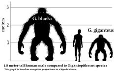 Gigantopithecus: The fossil record suggests that individuals of the species Gigantopithecus blacki were the largest known apes that ever lived, standing up to 3 m (9.8 ft), and weighing up to 540 kg (1,190 lb). http://en.wikipedia.org/wiki/Gigantopithecus #Mammals #Gigantopithecus
