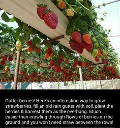 Gutter berries