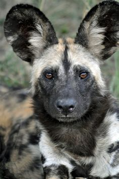 Known as African wild, painted, or Cape hunting dogs (Lycaon pictus), these endangered canines closely resemble wolves in their pack-oriented social structure. Animals Beautiful, Cute Animals, Beautiful Creatures, Wild Animals, Regard Animal, African Wild Dog, Wild Dogs, Mundo Animal, African Animals