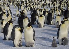Emperor Penguins - Antarctica