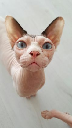 16 Ideas for cats sphynx devon rex I Love Cats, Crazy Cats, Cool Cats, Devon Rex, Gato Cornish Rex, Puppies And Kitties, Cats And Kittens, Pretty Cats, Beautiful Cats