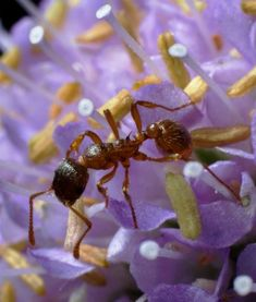 Thinkstock   5 of 10  .     ANTS   Ants can be seen visiting flowers frequently, and they do pollinate to a certain degree, although the mutualistic relationship is more one-sided than usual. Since most ants can't fly, they don't access flowers as easily as animals who can; instead, ants have to crawl over plants and into flowers directly.                                       5 of 10                                                                                    ...