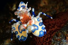This harlequin shrimp isn't clowning around (yeah, yeah, cue groans). Hymenocera elegans here is found in the waters off of Indonesia. Popular among aquarium enthusiasts for their bright colors, harlequin shrimp are nonetheless tough to care for in a tank. One reason is their diet: They eat only starfish (and sometimes sea urchins), and they reportedly prefer to eat them alive.