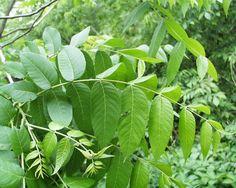 black walnut tree - Google Search