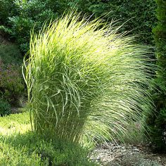 Maiden Grass 'Morning Light' - Size: 1 Gallon - Live Potted Plants - Miscanthus