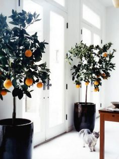 Indoor citrus trees . . . . I really want one for my living room