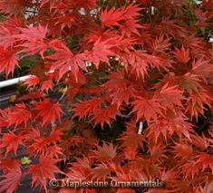 Acer shirasawanum 'Sensu' - Japanese Maples › Shirasawanum | Maplestone Ornamentals