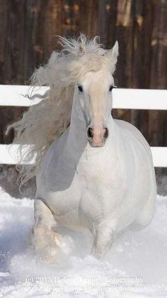 White horses in snow! Horses In Snow, Cute Horses, Horse Love, Wild Horses, Black Horses, Most Beautiful Horses, All The Pretty Horses, Horse Photos, Horse Pictures