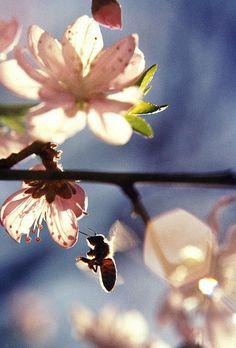 Honey Bee in a Flowering Fruit Tree