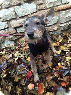 Verona, NJ - Schnauzer (Miniature) Mix. Meet Taylor, a puppy for adoption. http://www.adoptapet.com/pet/12049589-verona-new-jersey-schnauzer-miniature-mix
