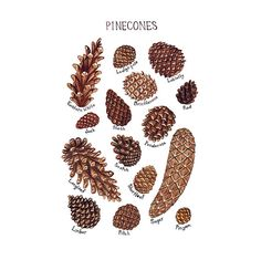 This piece is done in watercolor. It is a field guide classification chart and features the Pine Cones of North America.    It includes these pine