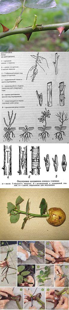 Разные способы размножения роз | Дачный участок