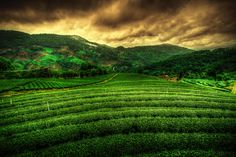 HDR Tea Plantation, Chiangrai, Thailand #monogramsvacation