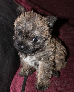 4 Stunning Cairn Terrier Pedigree Puppies For Sale - Photo 4
