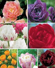 Double Peony Tulip Collection