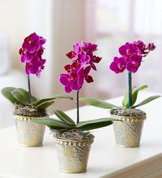 Moth Orchid, Phalaenopsis Orchid, Orchid Plants, Orchids Garden, Orchid Centerpieces, Orchid Arrangements, Potted Plant Centerpieces, 800 Flowers, Types Of Flowers