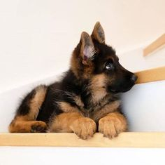 Super Cute Puppies, Cute Baby Dogs, Cute Dogs And Puppies, Cute Baby Animals, Pet Dogs, Cute Pups, Dog Baby, Adorable Puppies, Corgi Puppies