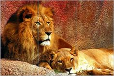 Find amazing So Crazy Art Brown Wall Art Painting Relaxing Lions Prints On Canvas The Picture Animal Pictures Oil For Home Modern Decoration Print Decor For Kids Room lion gifts for your lion lover. Cross Paintings, Easy Paintings, Animal Paintings, Tier Wallpaper, Animal Wallpaper, Wildlife Wallpaper, Lion Wall Art, Lion Art, Gif Disney