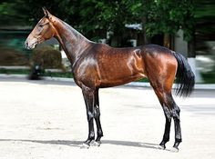 Olympiad is a 6 year old Akhal-Teke mare.