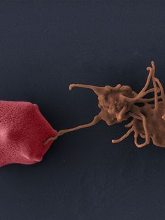 Two molecules in human platelets that work together to kill malaria...a new discovery
