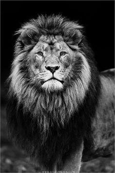 Beautiful! Lion Images, Lion Pictures, Lion Wallpaper, Animal Wallpaper, Animals Beautiful, Cute Animals, Lion Photography, Lions Photos, Camera Tattoos