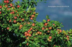 Sonbahar Meyveleri - Ordu  Fotoğrafı gönderen: Sinan Karapınar