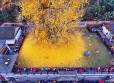 "landscape-photo-graphy: ""Ancient Gingko Trees Draws Spectators As It Sheds Thousands Of Golden Leaves Nestled in the Zhongnan Mountains in China there is ancient ginkgo tree in the Gu Guanyin Buddhist. In China, Pictures Of Leaves, Maidenhair Tree, Dame Nature, Colossal Art, Old Trees, Golden Leaves, Golden Tree, Yellow Leaves"