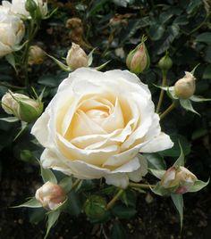 ~Floribunda Shrub Rose: Rosa 'Cream Abundance' AKA 'Covent Garden' (U.K., 1999)