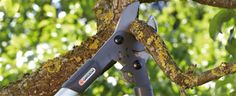 Pruning tips for your walnut tree - Summer, Trees And Hedges, Pruning, Walnut