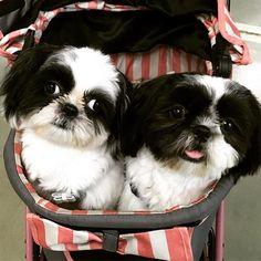 Shih Tzu in an outing in their stroller...そろそろこのカート、ギュウギュウで限界かも…
