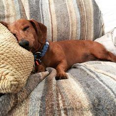 Oh The Places You Sleep: Vol. 5 with Ammo the Dachshund www.savingpepper.com #Dachshund