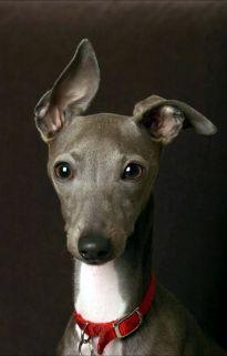 Italian Greyhound - Oh my gawd I want one baaad!!