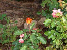 Rosas en Jardines del Hotel Escuela
