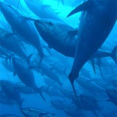 Take action below -- demand that the Pacific Fishery Management Council bring a stop to the catch of Pacific bluefin tuna.