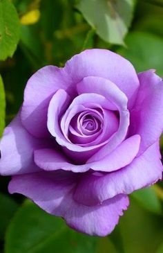 The rose bud blooms into a gorgeous violet flower Lavender Garden, Purple Garden, Pretty Roses, Beautiful Roses, Amazing Flowers, Love Flowers, Purple Flowers, Pink Roses, Rose Reference