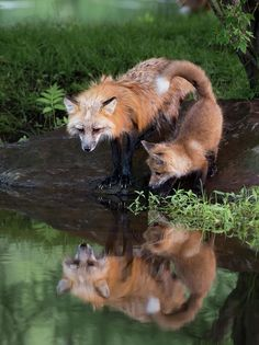 The Beauty of Wildlife Fox with Kit by Jaynes Gallery