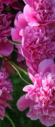 Peonies..../ In Southern Illinois, I had my frunt yard full of these hot pink ones and also white with pink tips so Beautiful