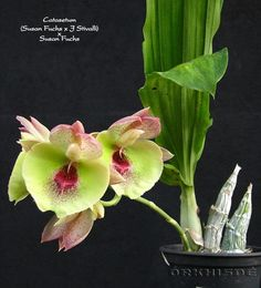 There are about 100 species in this more popularly grown genus. Vigorous growers that are less sensitive to cultural mistakes, Catasetums are the most easily grown members of the Catasetinae. Unusual Plants, Exotic Plants, Exotic Flowers, Orchids Garden, Garden Plants, Air Plants, Begonia, Mini Orquideas, Orchid Varieties