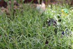 Lavandula angustifolia Hidcote - Purple flowers in Summer. Trim after flowering. Lavandula Angustifolia, Colorful Garden, Hedges, Purple Flowers, Garden Furniture, Evergreen, Sun, Summer, Colour