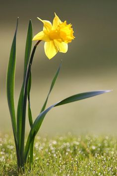 daffodil - Yahoo Image Search Results