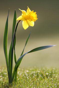 i heart daffodils...