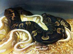 'GHI' x 'Soul sucker' ball pythons breeding.