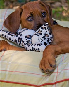 """Our Ridgeback puppy with his little """"Leo"""" (leopard). I Love Dogs, Puppy Love, Cute Dogs, Rhodesian Ridgeback, Lion Dog, Dog Cat, Most Beautiful Dogs, Large Dog Breeds, Dog Items"""