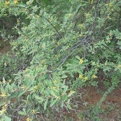 Grewia Flava         Brandybush/Velvet Raisinbush          Wilderosyntjie/Brandewynbos         4 m     S A no 459,1