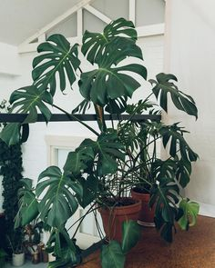 Our #MonsteraMonday contribution today is one we met at @studiohearhear 's studio a few weeks ago when we were in Amsterdam. We don't think we've met a Monstera yet that we don't like... #HaarkonInAmsterdam