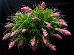 Tillandsia stricta Air Pineapple 20 Pcs/sets Of Prevent Radiation Fleshy Seeds, Imports Of Potting Hybrid Seeds Succulent Plants Unusual Plants, Exotic Plants, Cool Plants, Exotic Flowers, Pink Flowers, Cacti And Succulents, Planting Succulents, Garden Plants, Planting Flowers