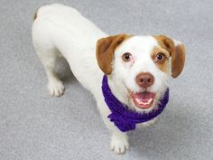SAFE 5-19-2015 --- Manhattan Center  My name is CHELSEY. My Animal ID # is A1036284. I am a female white and brown beagle and fox terr wire mix. The shelter thinks I am about 1 YEAR 6 MONTHS old.  I came in the shelter as a OWNER SUR on 05/14/2015 from NY 10458, owner surrender reason stated was NO TIME.