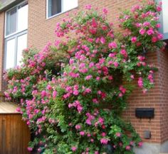 Rosa William Baffin  Tough, cold-hardy and disease resistant climbing rose.  Resistant to powdery mildew and black spot.